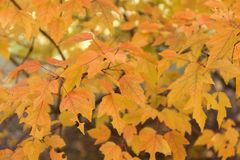 Rosso e fondo delle foglie dell'arancia Fogliame di autunno Immagine Stock