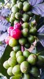 Rosso e verde dei chicchi di caffè sul ramo di albero immagine stock