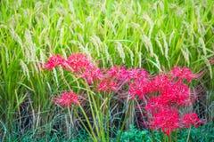 Rosso e verde del raccolto del riso del ` s del Giappone fotografia stock libera da diritti