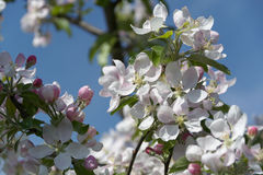 Rosso--fiori di ciliegia bianchi Immagine Stock