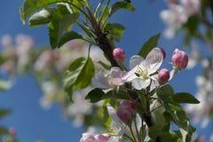 Rosso--fiori di ciliegia bianchi Fotografia Stock Libera da Diritti