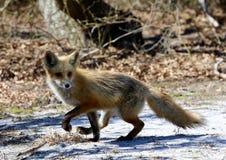 Rosso-Fox Fotografia Stock Libera da Diritti
