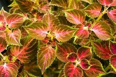 Rosso - giacimento dell'ortica pungente Immagine Stock