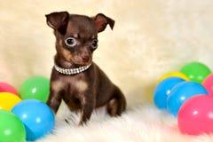 Rosso, giallo, blu - Cucciolo russo del terrier di giocattolo di Brown con le palle immagini stock