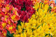 Rosso giallo multicolore di Alstroemeria e chiazzato Priorità bassa dei fiori Immagine Stock