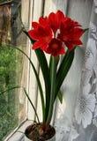 Rosso ibrido di hippeastrum del fiore Fotografia Stock Libera da Diritti
