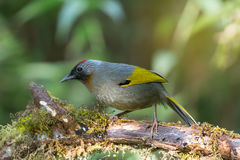 Rosso intestato, uccello giallo delle ali immagine stock