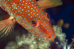 In rosso mare posteriore di corallo. fotografie stock