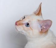 Rosso-punto del gatto siamese di bellezza Fotografie Stock Libere da Diritti