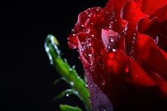 Rosso scuro è aumentato con le goccioline di acqua. fotografie stock