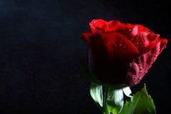 Rosso scuro è aumentato con le goccioline di acqua. fotografia stock libera da diritti