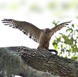 Rosso-spalla Hawk With Snake fotografia stock