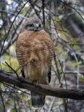 Rosso-spalle Hawk Front View Fotografia Stock