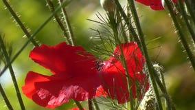 Rosso, tenero, aria, papavero animatore Papavero decorativo sul loro cottage di estate archivi video