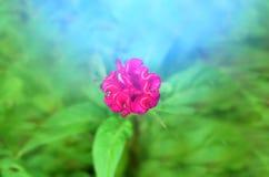 Rosso variopinto del fiore Immagine Stock