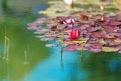 Rosso waterlily in orizzontale dello stagno del giardino Immagine Stock