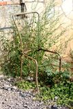 Rostade delvist den utomhus- stolmetallramen med den saknade platsen kasserad i natur som avskräde som omgavs med bevuxna växter  royaltyfri fotografi
