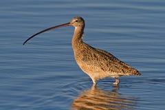 Rostbrachvogel (Numenius americanus) Lizenzfreies Stockfoto