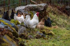 A roster with several hens looking for food. Outside Royalty Free Stock Images