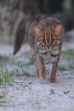 Rostig-beschmutzte Katze stockfoto