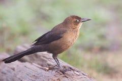 rostig blackbird Fotografering för Bildbyråer