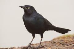 rostig blackbird Arkivbild