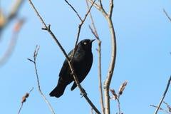 rostig blackbird Royaltyfri Bild