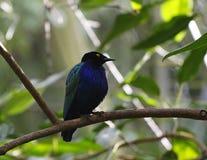 Rostig blackbird Royaltyfri Foto