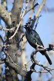 rostig blackbirdcarolinuseuphagus royaltyfri fotografi