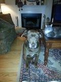 Rostig der Brown Hund u. der Frankie die Katze Lizenzfreie Stockfotos