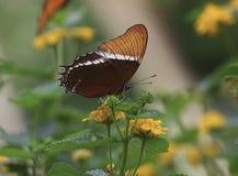Rostig-gespitzter Schmetterling auf einer gelben Blume Lizenzfreie Stockbilder