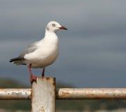 rostig seagull för räcke royaltyfria foton