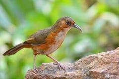 Rostig-vara fräck mot kroksabelpratmakarefågel Royaltyfria Bilder