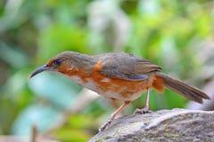 Rostig-vara fräck mot kroksabelpratmakarefågel Arkivbilder