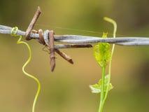 Rostiger Stacheldrahtzaun streichelte mit grünem lvy Kürbis im upcountr Stockbild