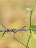 Rostiger Stacheldrahtzaun streichelte mit grünem lvy Kürbis im upcountr Lizenzfreies Stockfoto