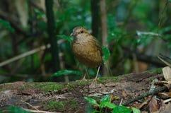 Rostiges-naped Pitta in der Natur Stockbilder