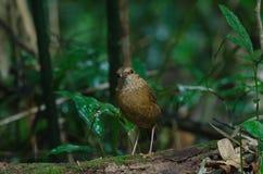 Rostiges-naped Pitta in der Natur Lizenzfreies Stockbild