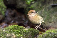 Rostiges-naped Pitta: pitta oatesi lizenzfreies stockbild