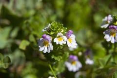rostkoviana euphrasia Στοκ Εικόνες