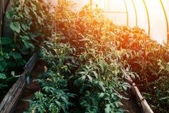 Rostock pomidory w szklarni roślina kwitną C obrazy royalty free