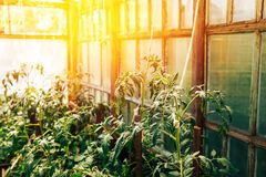 Rostock tomatoes in the greenhouse, the plant blooms. C stock photos