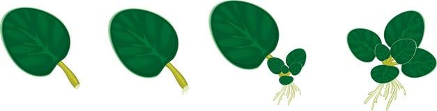 Rostowej reprodukci afrykańscy fiołki stwarzają ognisko domowe rośliny (saintpaulia) ilustracja wektor