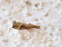 Rostralis de Hypena Hypena, Erebidae na parede Fotos de Stock Royalty Free