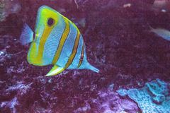 Rostratus Chelmon ψαριών πεταλούδων Copperband στοκ εικόνα