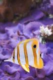 Rostratus de Chelmon da borboleta de Copperband Imagem de Stock Royalty Free