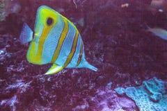 Rostratus de Chelmon dos peixes da borboleta de Copperband imagem de stock