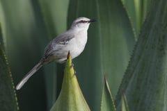 rostratus mockingbird mimus gilvus тропическое Стоковые Изображения