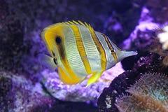 rostratus nommé latin de poissons de copperband de chelmon de guindineau Images libres de droits