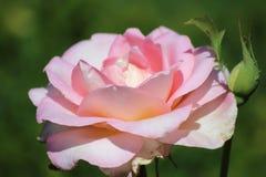 Roswe rosado en la floración Fotografía de archivo